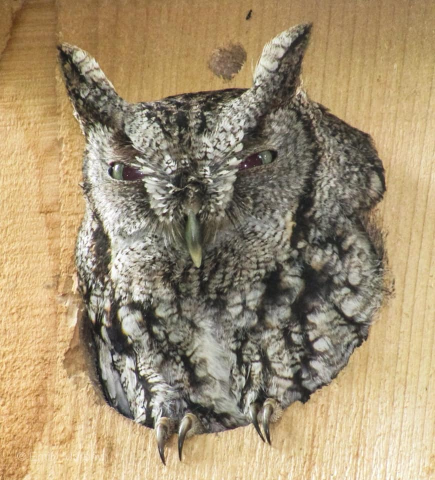 Photo Screech owl in Owl Box
